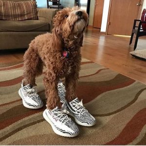 Dog in new Yeezys 2