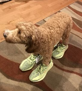 Dog in new Yeezys